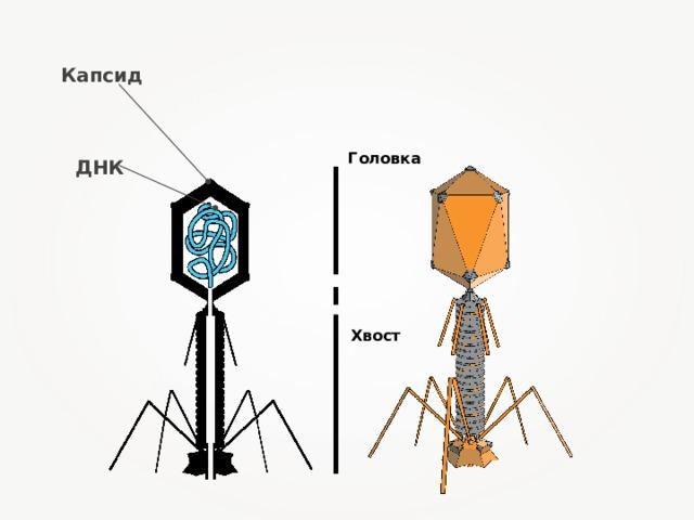 Капсид Головка ДНК Хвост