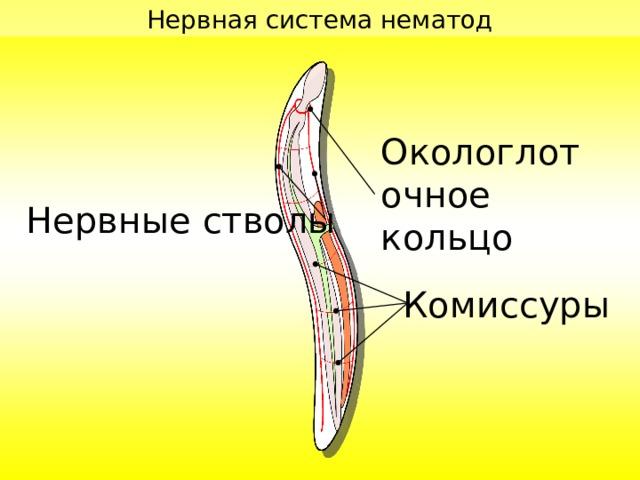 Нервная система нематод Окологлоточное кольцо Нервные стволы Комиссуры