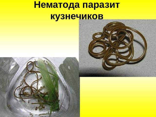 Нематода паразит кузнечиков