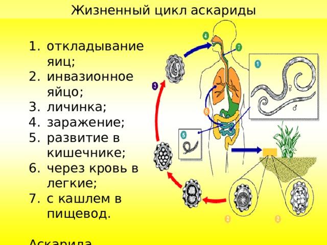 Жизненный цикл аскариды откладывание яиц ; инвазионное яйцо ; личинка ; заражение ; развитие в кишечнике ; через кровь в легкие ; с кашлем в пищевод .  Аскарида попадает в кишечник, где взрослеет. Цикл повторяется.