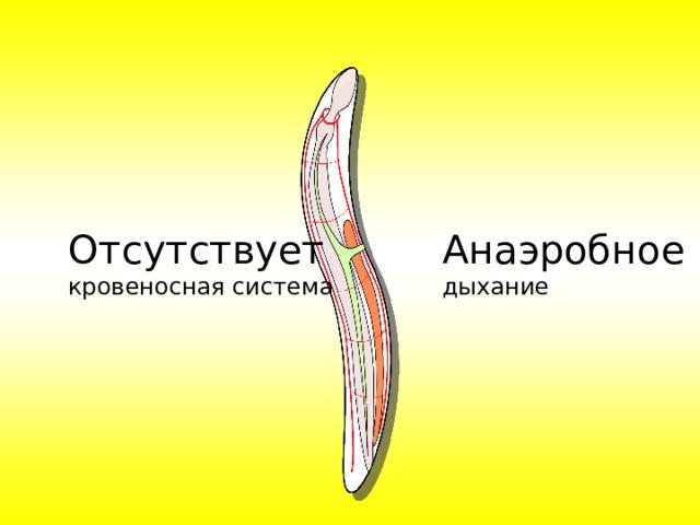 Отсутствует кровеносная система Анаэробное дыхание