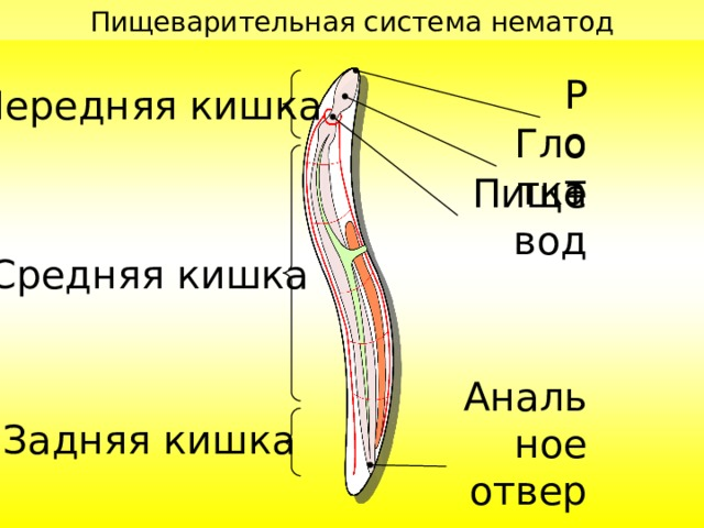 Пищеварительная система нематод Рот Передняя кишка Глотка Пищевод Средняя кишка Анальное отверстие Задняя кишка