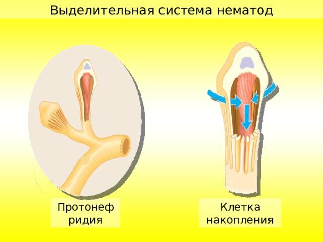 Выделительная система нематод Протонефридия Клетка накопления