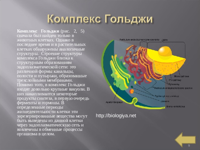 Комплекс Гольджи (рис. 2, 5) сначала был найден только в животных клетках. Однако в последнее время и в растительных клетках обнаружены аналогичные структуры. Строение структуры комплекса Гольджи близка к структурным образованиям эндоплазматической сети: это различной формы канальцы, полости и пузырьки, образованные трехслойными мембранами. Помимо того, в комплекс Гольджи входят довольно крупные вакуоли. В них накапливаются некоторые продукты синтеза, в первую очередь ферменты и гормоны. В определенные периоды жизнедеятельности клетки эти зарезервированные вещества могут быть выведены из данной клетки через эндоплазматическую сеть и вовлечены в обменные процессы организма в целом. http://biologiya.net