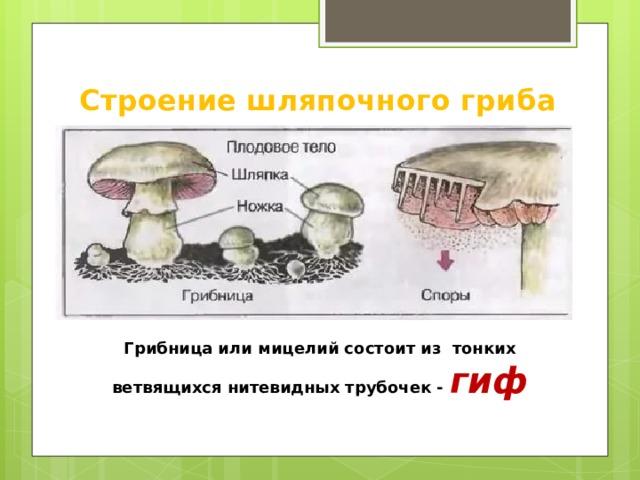 Строение шляпочного гриба Грибница или мицелий состоит из тонких ветвящихся нитевидных трубочек - гиф