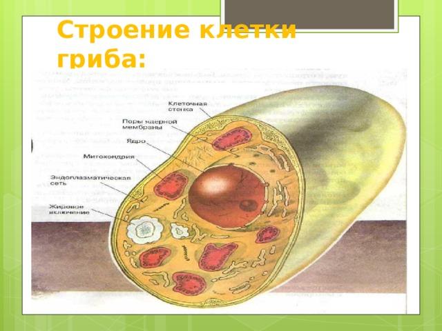 Строение клетки гриба: