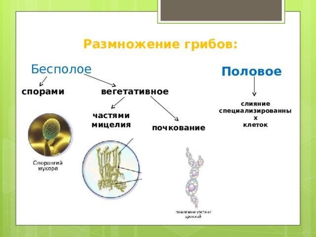 Размножение грибов: Бесполое  Половое спорами  вегетативное слияние специализированных клеток частями мицелия почкование