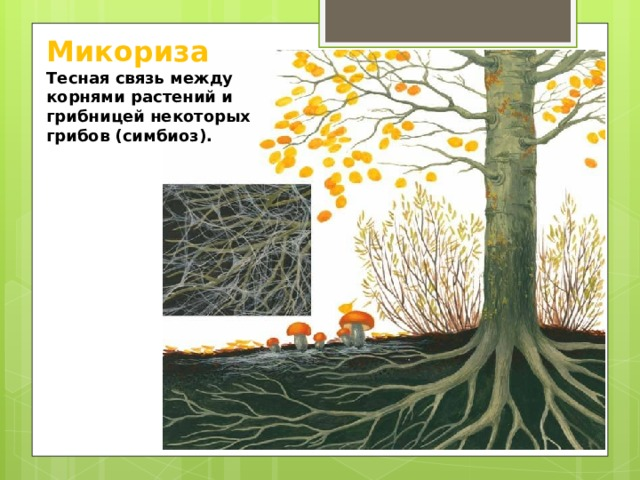 Микориза  Тесная связь между корнями растений и грибницей некоторых грибов (симбиоз).