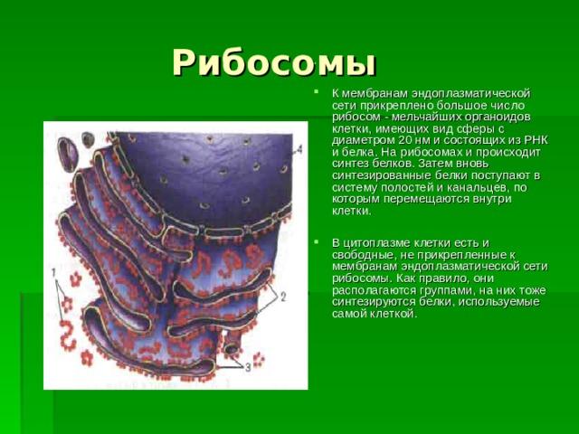 Рибосомы К мембранам эндоплазматической сети прикреплено большое число рибосом - мельчайших органоидов клетки, имеющих вид сферы с диаметром 20 нм и состоящих из РНК и белка. На рибосомах и происходит синтез белков. Затем вновь синтезированные белки поступают в систему полостей и канальцев, по которым перемещаются внутри клетки.  В цитоплазме клетки есть и свободные, не прикрепленные к мембранам эндоплазматической сети рибосомы. Как правило, они располагаются группами, на них тоже синтезируются белки, используемые самой клеткой.