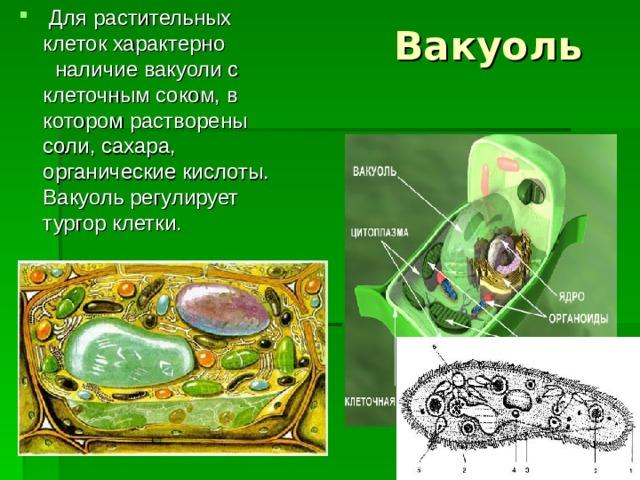 Для растительных клеток характерно наличие вакуоли с клеточным соком, в котором растворены соли, сахара, органические кислоты. Вакуоль регулирует тургор клетки.  Вакуоль