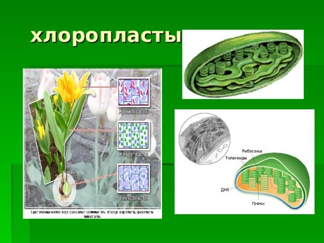хлоропласты