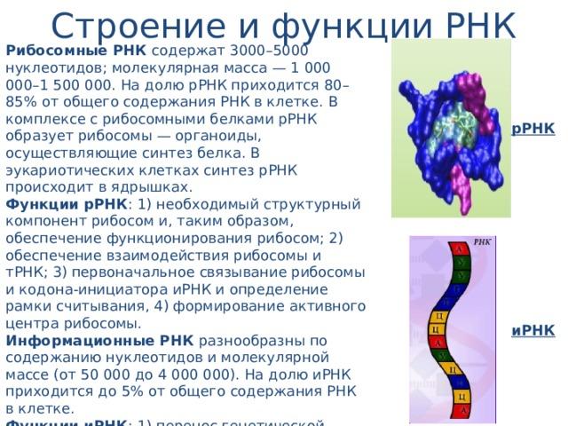 Строение и функции РНК Рибосомные РНК содержат 3000–5000 нуклеотидов; молекулярная масса — 1 000 000–1 500 000. На долю рРНК приходится 80–85% от общего содержания РНК в клетке. В комплексе с рибосомными белками рРНК образует рибосомы — органоиды, осуществляющие синтез белка. В эукариотических клетках синтез рРНК происходит в ядрышках. Функции рРНК : 1) необходимый структурный компонент рибосом и, таким образом, обеспечение функционирования рибосом; 2) обеспечение взаимодействия рибосомы и тРНК; 3) первоначальное связывание рибосомы и кодона-инициатора иРНК и определение рамки считывания, 4) формирование активного центра рибосомы. Информационные РНК разнообразны по содержанию нуклеотидов и молекулярной массе (от 50 000 до 4 000 000). На долю иРНК приходится до 5% от общего содержания РНК в клетке. Функции иРНК : 1) перенос генетической информации от ДНК к рибосомам, 2) матрица для синтеза молекулы белка, 3) определение аминокислотной последовательности первичной структуры белковой молекулы. рРНК иРНК