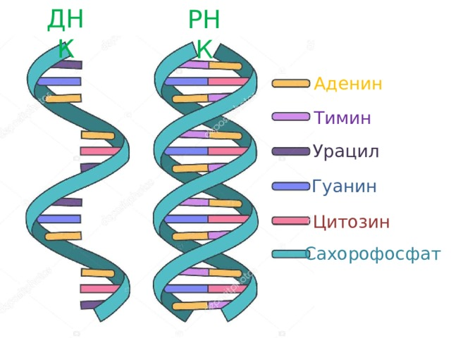 ДНК РНК Аденин Тимин Урацил Гуанин Цитозин Сахорофосфат