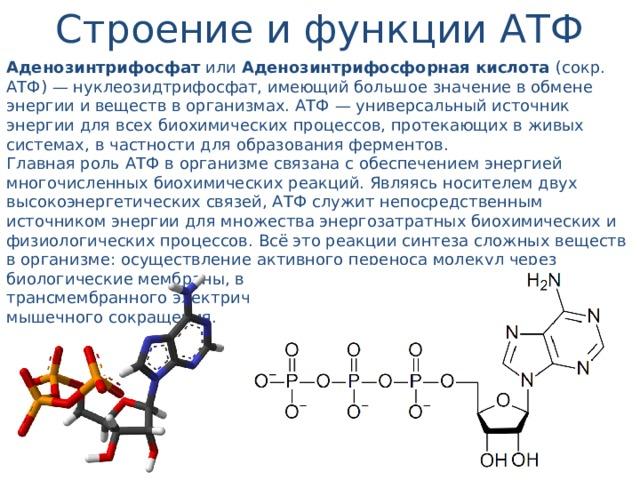 Строение и функции АТФ Аденозинтрифосфат или Аденозинтрифосфорная кислота (сокр. АТФ) — нуклеозидтрифосфат, имеющий большое значение в обмене энергии и веществ в организмах. АТФ — универсальный источник энергии для всех биохимических процессов, протекающих в живых системах, в частности для образования ферментов. Главная роль АТФ в организме связана с обеспечением энергией многочисленных биохимических реакций. Являясь носителем двух высокоэнергетических связей, АТФ служит непосредственным источником энергии для множества энергозатратных биохимических и физиологических процессов. Всё это реакции синтеза сложных веществ в организме: осуществление активного переноса молекул через биологические мембраны, в том числе и для создания трансмембранного электрического потенциала; осуществления мышечного сокращения.