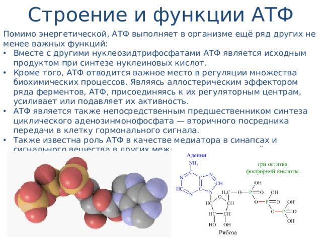 Строение и функции АТФ Помимо энергетической, АТФ выполняет в организме ещё ряд других не менее важных функций: Вместе с другими нуклеозидтрифосфатами АТФ является исходным продуктом при синтезе нуклеиновых кислот. Кроме того, АТФ отводится важное место в регуляции множества биохимических процессов. Являясь аллостерическим эффектором ряда ферментов, АТФ, присоединяясь к их регуляторным центрам, усиливает или подавляет их активность. АТФ является также непосредственным предшественником синтеза циклического аденозинмонофосфата — вторичного посредника передачи в клетку гормонального сигнала. Также известна роль АТФ в качестве медиатора в синапсах и сигнального вещества в других межклеточных взаимодействиях (пуринергическая передача сигнала).