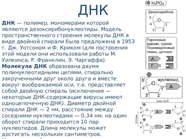 ДНК ДНК — полимер, мономерами которой являются дезоксирибонуклеотиды. Модель пространственного строения молекулы ДНК в виде двойной спирали была предложена в 1953 г. Дж. Уотсоном и Ф. Криком (для построения этой модели они использовали работы М. Уилкинса, Р. Франклин, Э. Чаргаффа). Молекула ДНК образована двумя полинуклеотидными цепями, спирально закрученными друг около друга и вместе вокруг воображаемой оси, т.е. представляет собой двойную спираль (исключение — некоторые ДНК-содержащие вирусы имеют одноцепочечную ДНК). Диаметр двойной спирали ДНК — 2 нм, расстояние между соседними нуклеотидами — 0,34 нм, на один оборот спирали приходится 10 пар нуклеотидов. Длина молекулы может достигать нескольких сантиметров. Молекулярный вес — десятки и сотни миллионов. Суммарная длина ДНК ядра клетки человека — около 2 м. В эукариотических клетках ДНК образует комплексы с белками и имеет специфическую пространственную конформацию.