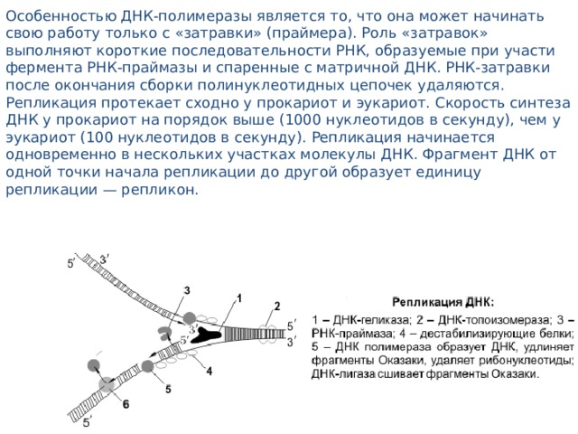 Особенностью ДНК-полимеразы является то, что она может начинать свою работу только с «затравки» (праймера). Роль «затравок» выполняют короткие последовательности РНК, образуемые при участи фермента РНК-праймазы и спаренные с матричной ДНК. РНК-затравки после окончания сборки полинуклеотидных цепочек удаляются. Репликация протекает сходно у прокариот и эукариот. Скорость синтеза ДНК у прокариот на порядок выше (1000 нуклеотидов в секунду), чем у эукариот (100 нуклеотидов в секунду). Репликация начинается одновременно в нескольких участках молекулы ДНК. Фрагмент ДНК от одной точки начала репликации до другой образует единицу репликации — репликон.