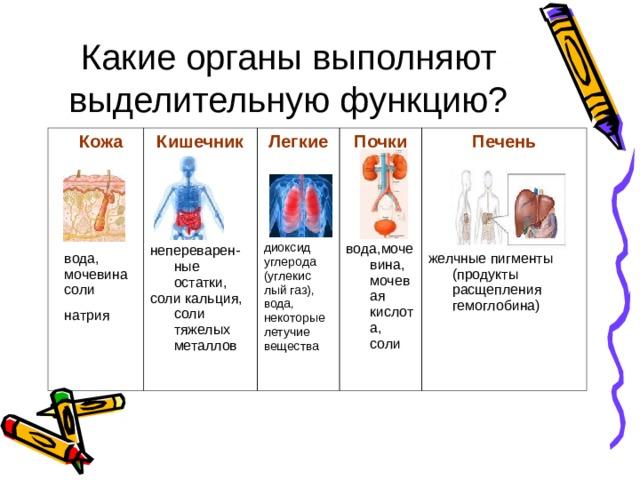 Какие органы выполняют выделительную функцию? Кожа      вода, Кишечник  непереварен-ные остатки, соли кальция, соли тяжелых металлов мочевина соли натрия  Легкие Почки диоксид углерода (углекис лый газ), вода, некоторые летучие вещества вода,мочевина, мочевая кислота, соли Печень      желчные пигменты (продукты расщепления гемоглобина)