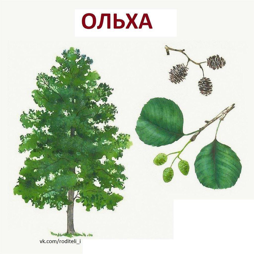 деревья и их листья картинки и названия дидактических ветра больших смерчах