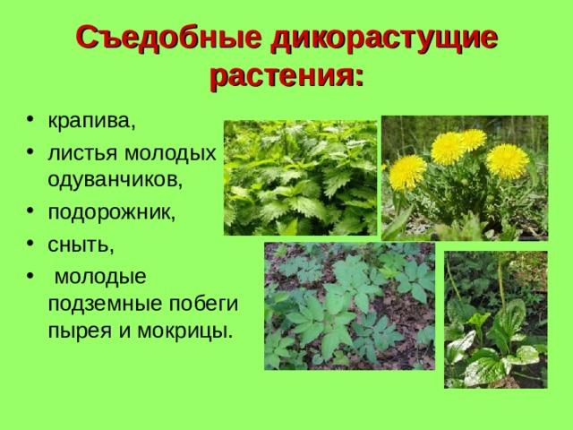 Съедобные дикорастущие растения: крапива, листья молодых одуванчиков, подорожник, сныть,  молодые подземные побеги пырея и мокрицы.