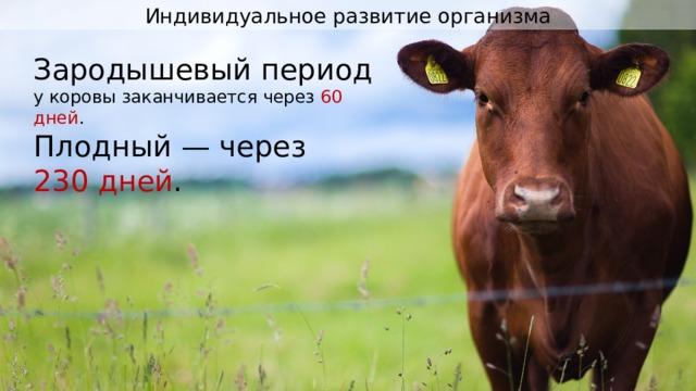 Индивидуальное развитие организма Зародышевый период у коровы заканчивается через 60 дней . Плодный — через 230 дней .