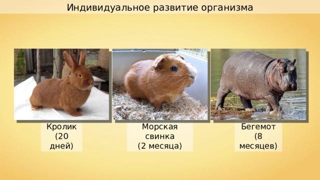Индивидуальное развитие организма Besovich Бегемот (8 месяцев) Морская свинка (2 месяца) Кролик (20 дней)