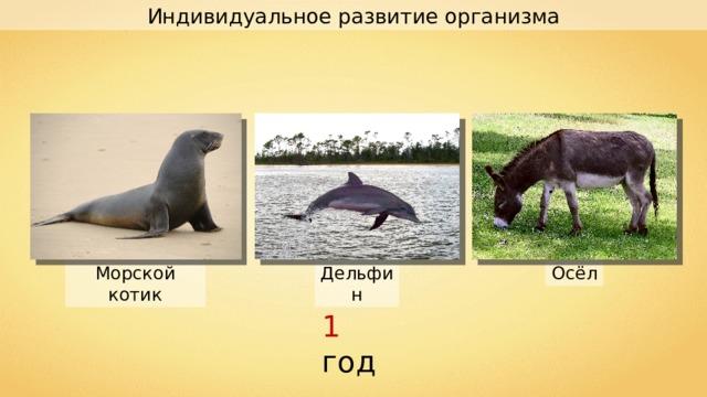Индивидуальное развитие организма Осёл Дельфин Морской котик 1 год