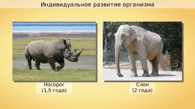 Индивидуальное развитие организма ryan harvey Semnoz Слон (2  года) Носорог (1,5 года)