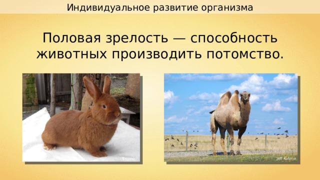 Индивидуальное развитие организма Половая зрелость — способность животных производить потомство. Besovich Jeff Kubina