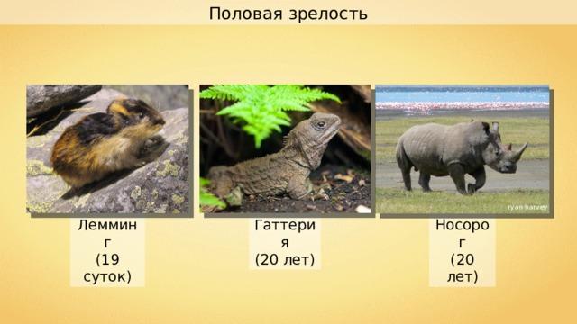 Половая зрелость ryan harvey Носорог (20 лет) Гаттерия (20 лет) Лемминг (19 суток)