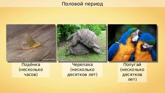 Половой период Sanja565658 Попугай (несколько десятков лет) Черепаха (несколько десятков лет) Подёнка (несколько часов)