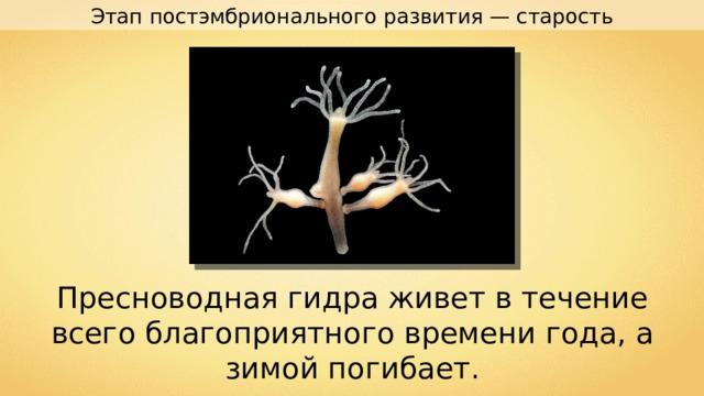 Этап постэмбрионального развития — старость Пресноводная гидра живет в течение всего благоприятного времени года, а зимой погибает.