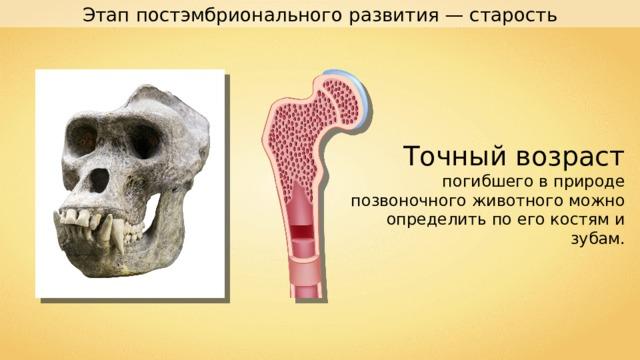 Этап постэмбрионального развития — старость Точный возраст погибшего в природе позвоночного животного можно определить по его костям и зубам.