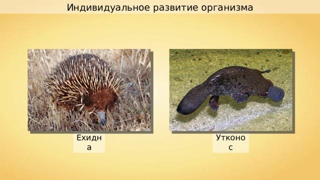 Индивидуальное развитие организма Ехидна Утконос
