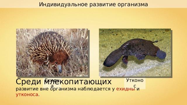 Индивидуальное развитие организма Среди млекопитающих развитие вне организма наблюдается у ехидны и утконоса . Ехидна Утконос