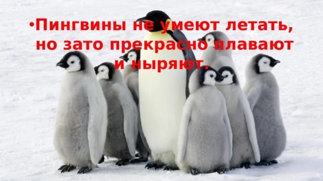 Пингвины не умеют летать, но зато прекрасно плавают и ныряют.