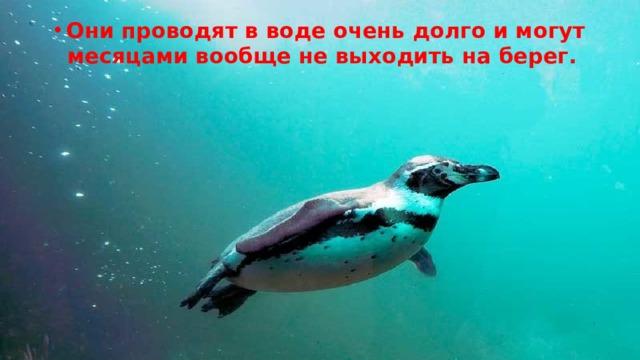 Они проводят в воде очень долго и могут месяцами вообще не выходить на берег.