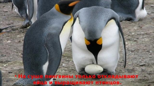 На суше пингвины только откладывают яйца и выращивают птенцов.