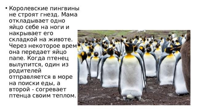 Королевские пингвины не строят гнезд. Мама откладывает одно яйцо себе на ноги и накрывает его складкой на животе. Через некоторое время она передает яйцо папе. Когда птенец вылупится, один из родителей отправляется в море на поиски еды, а второй - согревает птенца своим теплом.