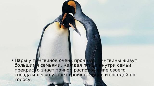 Пары у пингвинов очень прочные. Пингвины живут большими семьями. Каждая птица внутри семьи прекрасно знает точное расположение своего гнезда и легко узнает своих птенцов и соседей по голосу.