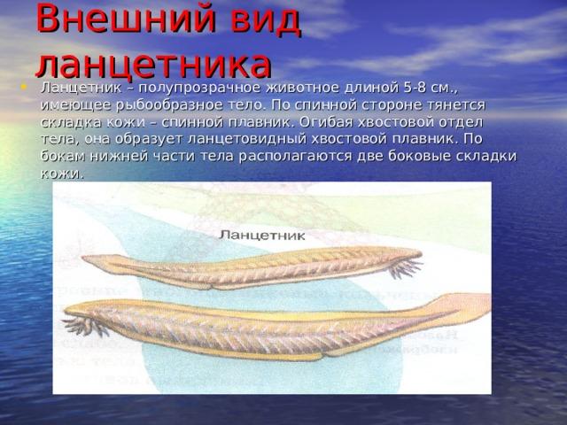 Внешний вид ланцетника   Ланцетник – полупрозрачное животное длиной 5-8 см., имеющее рыбообразное тело. По спинной стороне тянется складка кожи – спинной плавник. Огибая хвостовой отдел тела, она образует ланцетовидный хвостовой плавник. По бокам нижней части тела располагаются две боковые складки кожи.