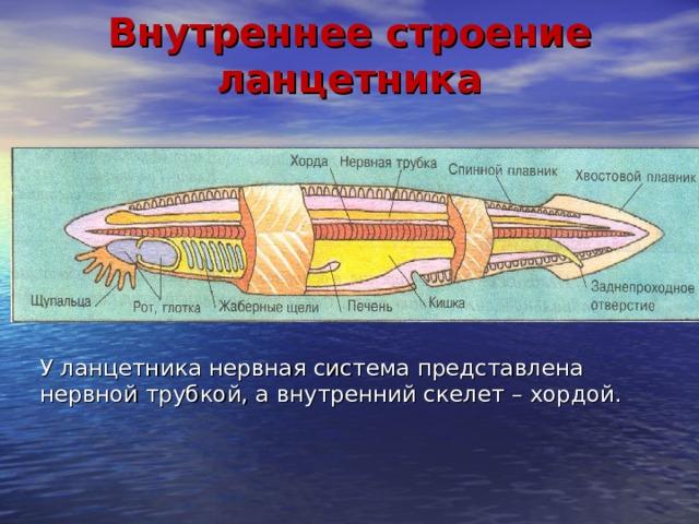 Внутреннее строение ланцетника У ланцетника нервная система представлена нервной трубкой, а внутренний скелет – хордой.