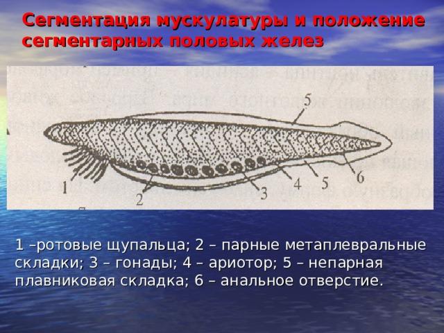 Сегментация мускулатуры и положение сегментарных половых желез 1 –ротовые щупальца; 2 – парные метаплевральные складки; 3 – гонады; 4 – ариотор; 5 – непарная плавниковая складка; 6 – анальное отверстие.