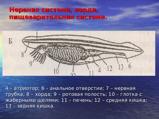 Нервная система, хорда, пищеварительная система. 4 – атриотор; 6 – анальное отверстие; 7 – нервная трубка; 8 – хорда; 9 – ротовая полость; 10 – глотка с жаберными щелями; 11 – печень; 12 – средняя кишка; 13 – задняя кишка.