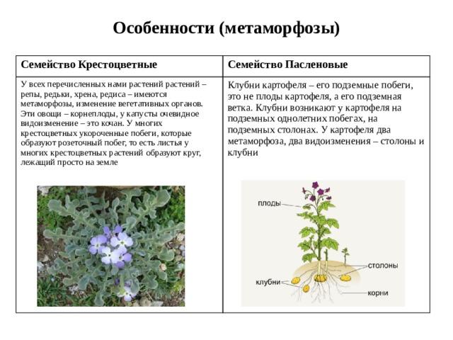 Особенности (метаморфозы) Семейство Крестоцветные Семейство Пасленовые У всех перечисленных нами растений растений – репы, редьки, хрена, редиса – имеются метаморфозы, изменение вегетативных органов. Эти овощи – корнеплоды, у капусты очевидное видоизменение – это кочан. У многих крестоцветных укороченные побеги, которые образуют розеточный побег, то есть листья у многих крестоцветных растений образуют круг, лежащий просто на земле Клубни картофеля – его подземные побеги, это не плоды картофеля, а его подземная ветка. Клубни возникают у картофеля на подземных однолетних побегах, на подземных столонах. У картофеля два метаморфоза, два видоизменения – столоны и клубни