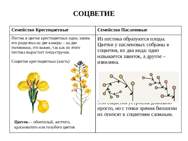 СОЦВЕТИЕ Семейство Крестоцветные Семейство Пасленовые Пестик в цветке крестоцветных один, завязь его разделена на две камеры – на две половинки, это важно, так как из этого пестика вырастает плод-стручок. Из пестика образуются плоды. Цветки у пасленовых собраны в соцветия, их два вида: одно называется завиток, а другое – извилина. Соцветие крестоцветных (кисть) Эти соцветия устроены довольно просто, но с точки зрения биологии их относят к соцветиям сложным. Цветок —обоеполый, желтого, красноватого или голубого цветов