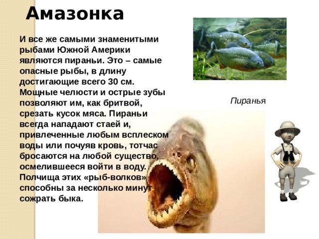 Амазонка Здесь же водятся и самые маленькие рыбы во всем мире – пестро окрашенные гуппи, да и другие «аквариумные» рыбки.