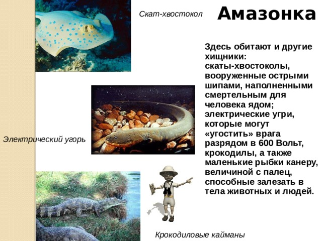 Амазонка И все же самыми знаменитыми рыбами Южной Америки являются пираньи. Это – самые опасные рыбы, в длину достигающие всего 30 см. Мощные челюсти и острые зубы позволяют им, как бритвой, срезать кусок мяса. Пираньи всегда нападают стаей и, привлеченные любым всплеском воды или почуяв кровь, тотчас бросаются на любой существо, осмелившееся войти в воду. Полчища этих «рыб-волков» способны за несколько минут сожрать быка. Пирань я