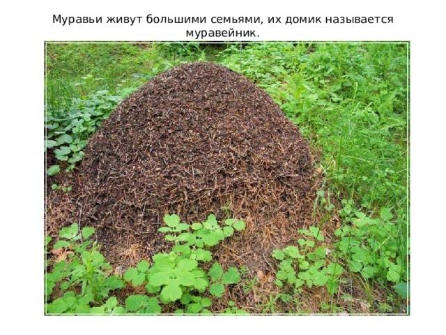 Муравьи живут большими семьями, их домик называется муравейник.