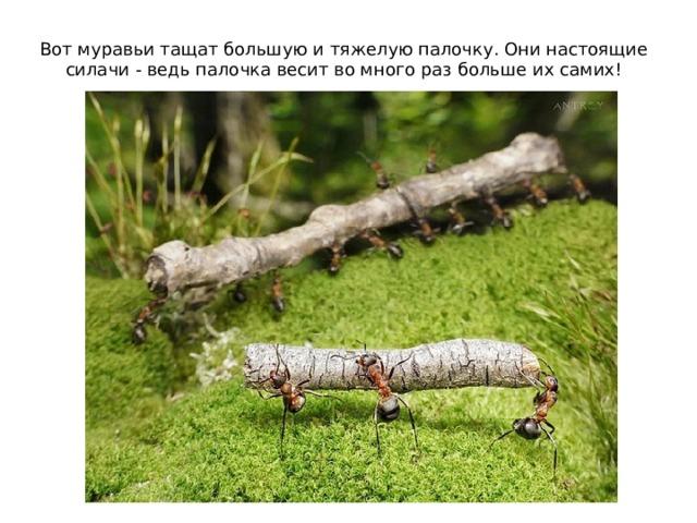 Вот муравьи тащат большую и тяжелую палочку. Они настоящие силачи - ведь палочка весит во много раз больше их самих!